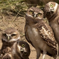 The Most Unusual Owls in Marana