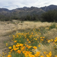 Find Wildflowers, Cactus Flowers, and Flowering Trees in Marana, AZ
