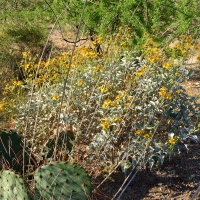 Brittlebush AZ Wildflowers