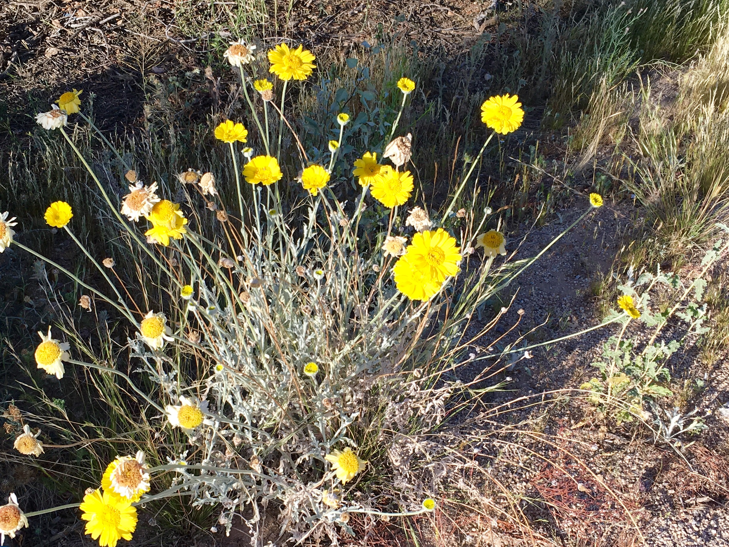 Springtime Is Desert Wildflower Time In Marana Az