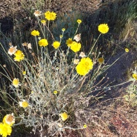 Desert Marigold Arizona Wildflowers