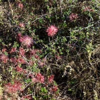 Fairy Duster AZ Wildflowers