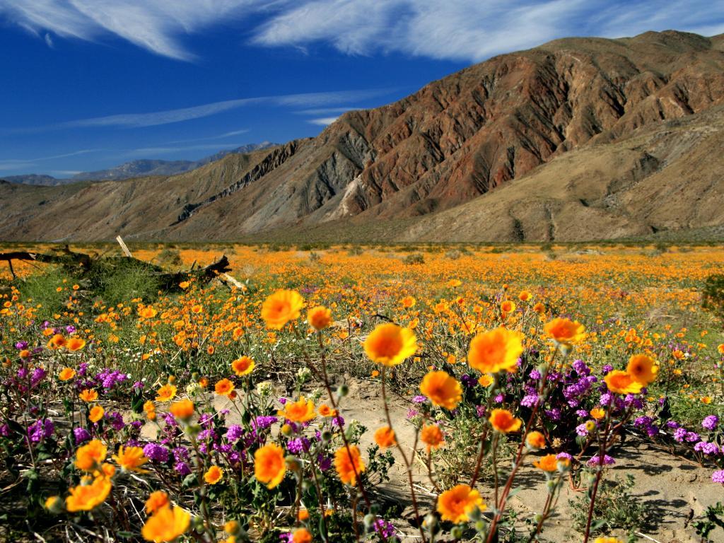 Southern Arizona spring wildflowers
