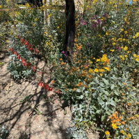 Where to Find Desert Wildflowers in Marana, AZ