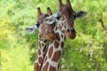 Little Critters Workshop Giant Giraffes