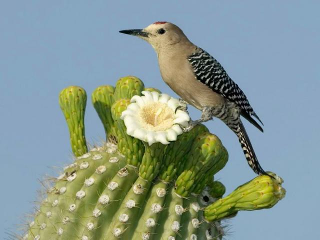 birding in sonoran desert