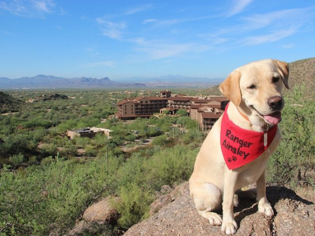 Announcing Ainsley the yellow lab critter-in-chief for TheRitz-Carlton,  Dove Mountain