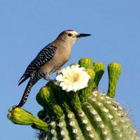 bird pollinating the saguaro cactus flower
