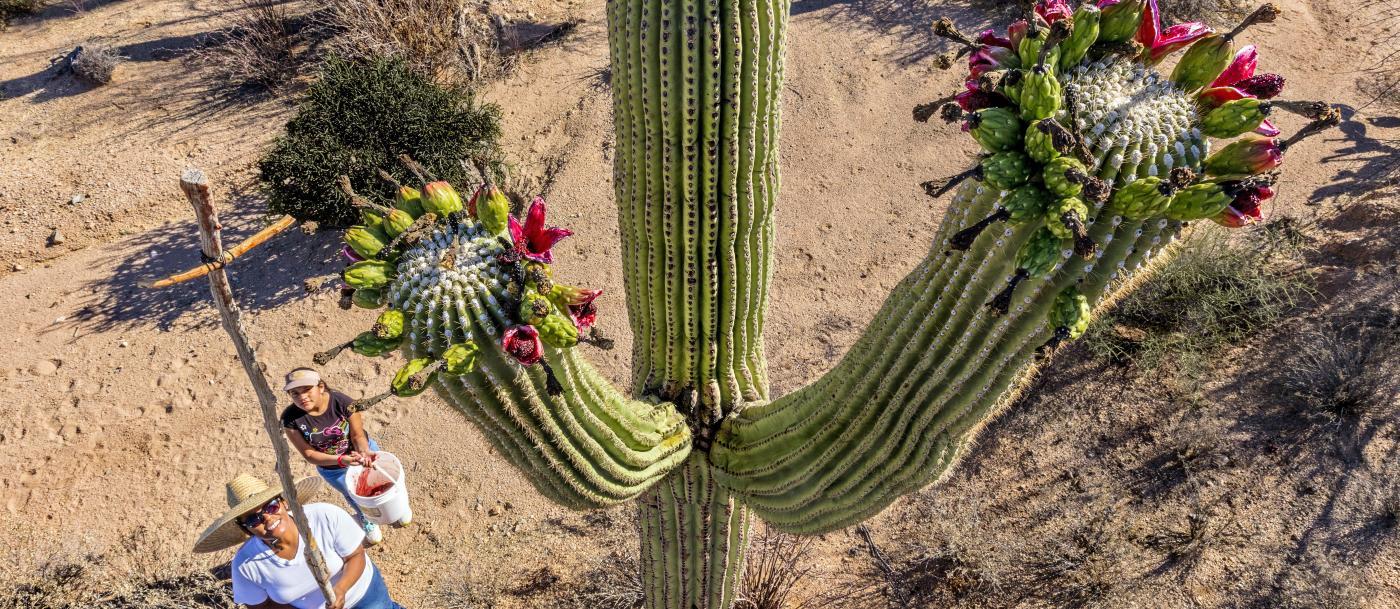 harvesting saguaro fruits