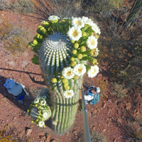 Arizona State Flower: The Incredible Saguaro Cactus Flower